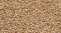 Пшеничный (Курский солод)
