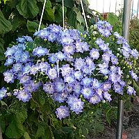 Isofila Dublin Bicolor/ подрощенное растение
