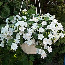 Isophila Dublin White/ подрощенное растение