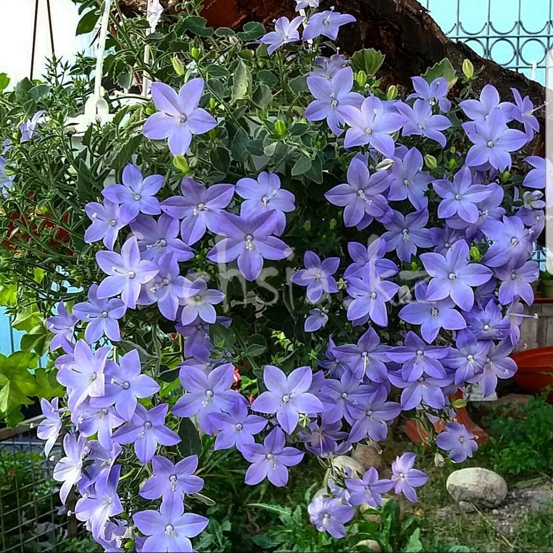 Isofila Maya/растение в кашпо