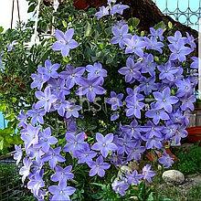 Isofila Maya/подрощенное растение
