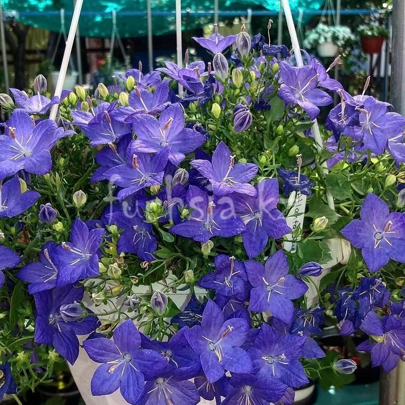 Isofila Napoli Blue/ укор.черенок