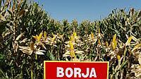 Среднепоздний гибрид кукурузы на зерно Borja