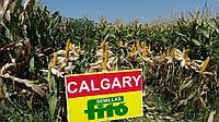 Позднеспелый Гибрид Кукурузы Fito Calgary/ФАО 650
