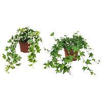Растение в горшке ХЕДЕРА ХЕЛИКС, Плющ, 13 см ИКЕА, IKEA, фото 1