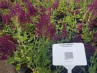Шалфей дубравный лесной ( Salvia nemorosa)