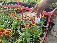 Гайлардия (Gailardia grandiflora MESA, ARISONA, BICOLOR)