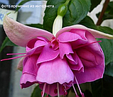 English Rose / подрощенное растение, фото 2