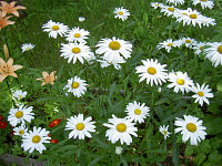 Нивяник( ромашка луговая) (Leucanthemum).
