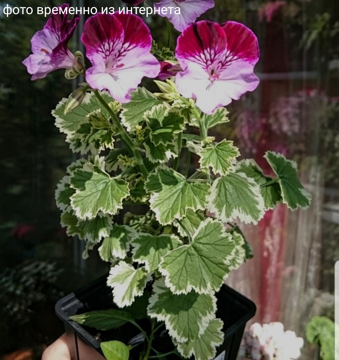 Oldbury Duet / подрощенное растение