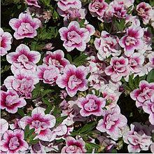 Minifamous Uno Double Pink Tastic  №406 / подрощенное растение
