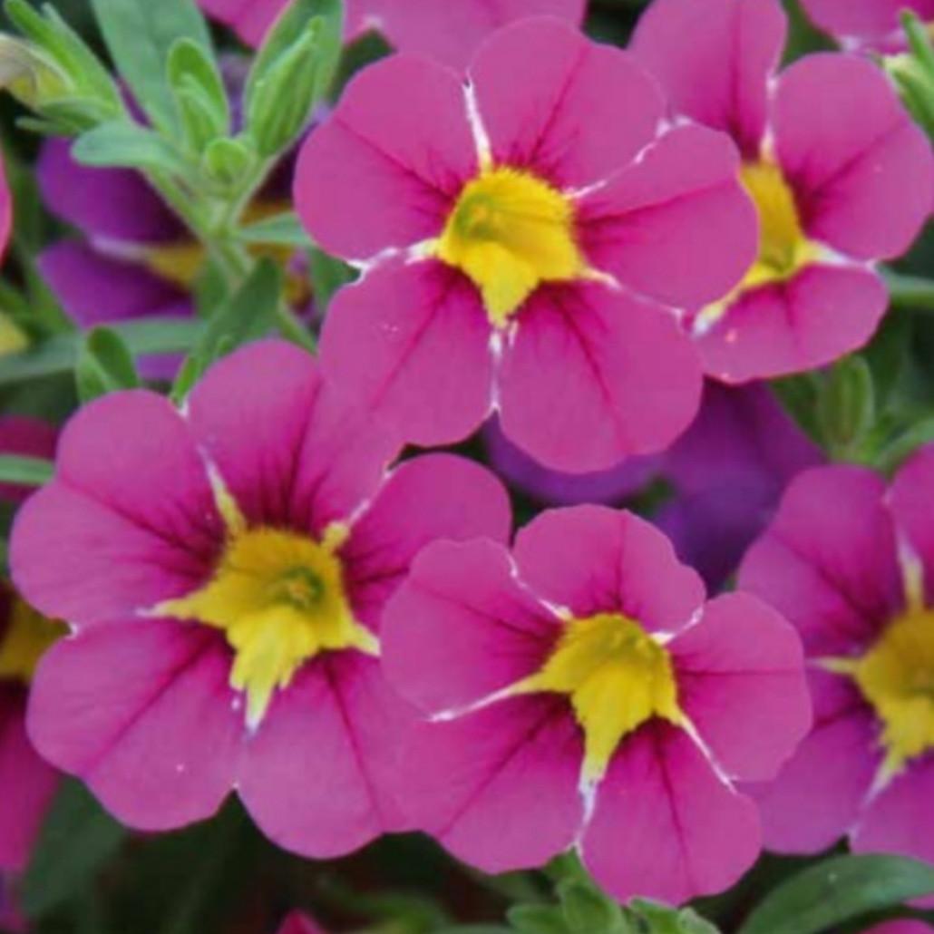Calita Special Pink Star  №440