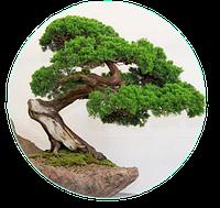 Бонсай карликовые деревья в миниатюре