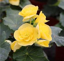 Elatior  Yellow Stone N 351/ укор.черенок