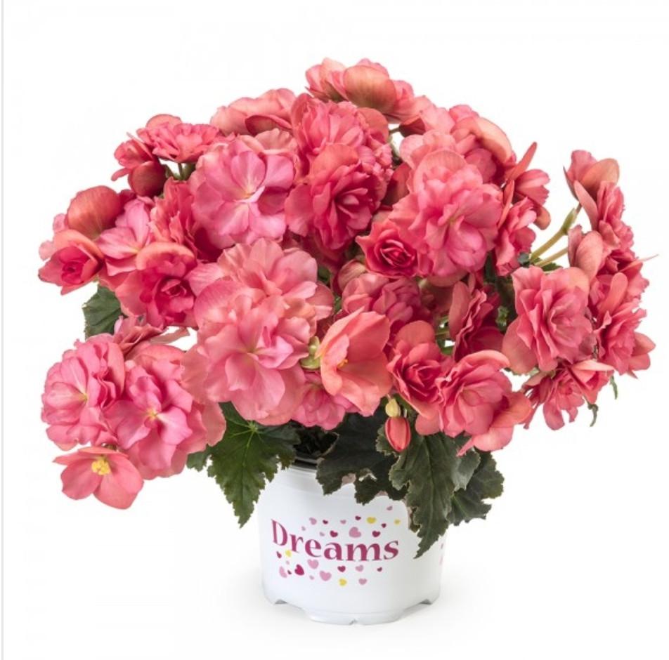 Elatior Chloe Coral Pink N349