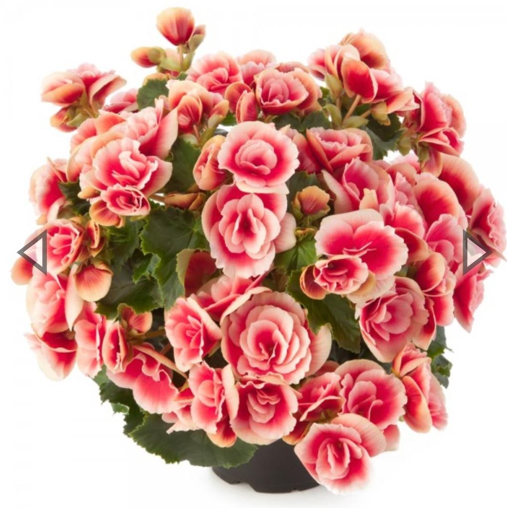 Elatior Borias N348 / подрощенное растение