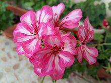 Harlequin Rosy-o-day / укор.черенок
