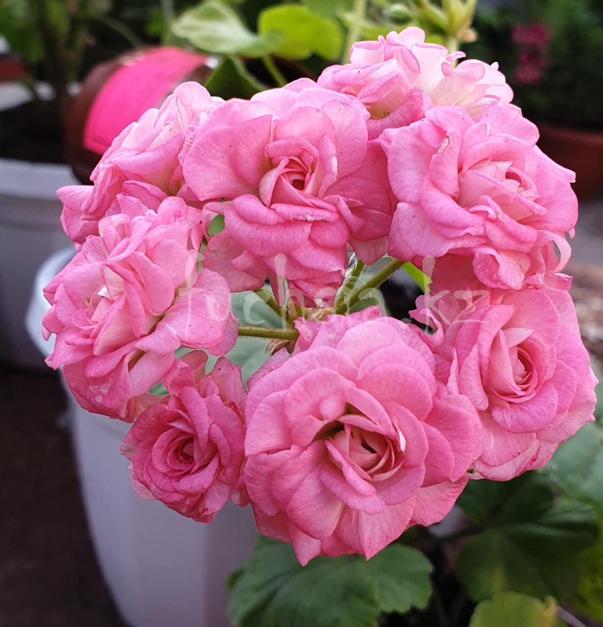 Grainder's Antique Rose (новинка 2019) / укор.черенок
