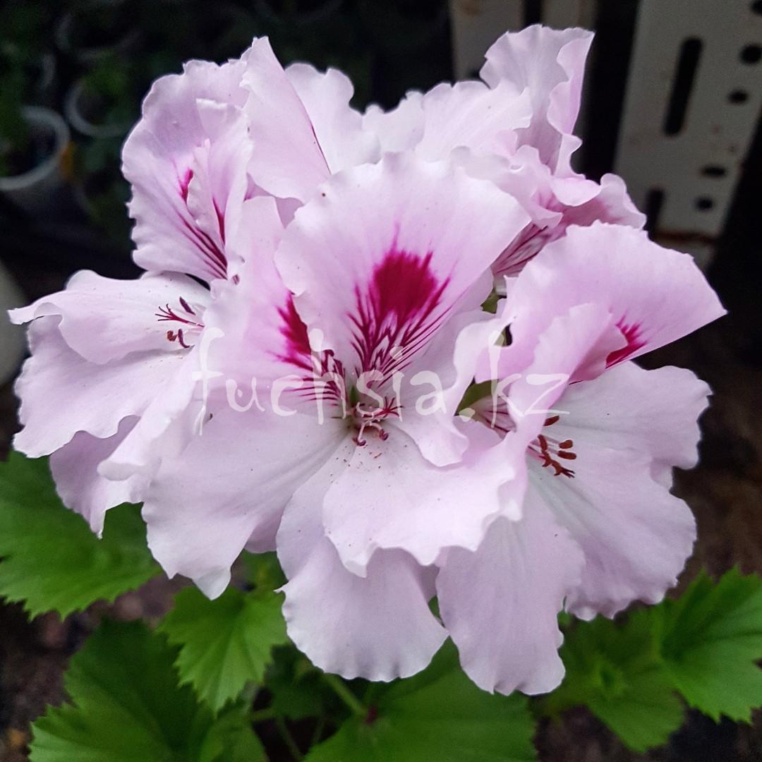 Lilac Eline / укор.черенок