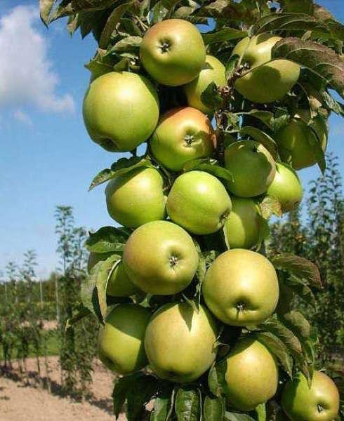"""Колоновидная яблоня """"Гирлянда"""""""