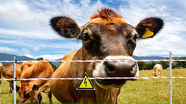 Электроизгородь для коров