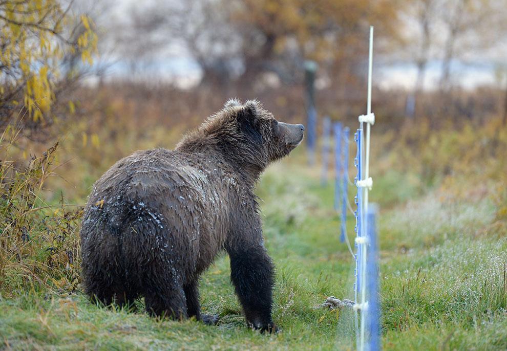 Электроизгородь от медведей