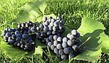 """Виноград """"Черный изумруд"""" (Блэк Эмеральд), фото 2"""