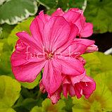 Brookside Rose /золотолистный/укор.черенок, фото 2