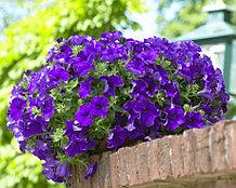 Surfinia Giant Blue №513 / подрощенное растение