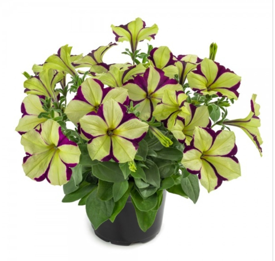 Cascadias Frisky Purple N519 / подрощенное растение