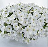 Cascadias Iceberg №523/цветущее растение, фото 2