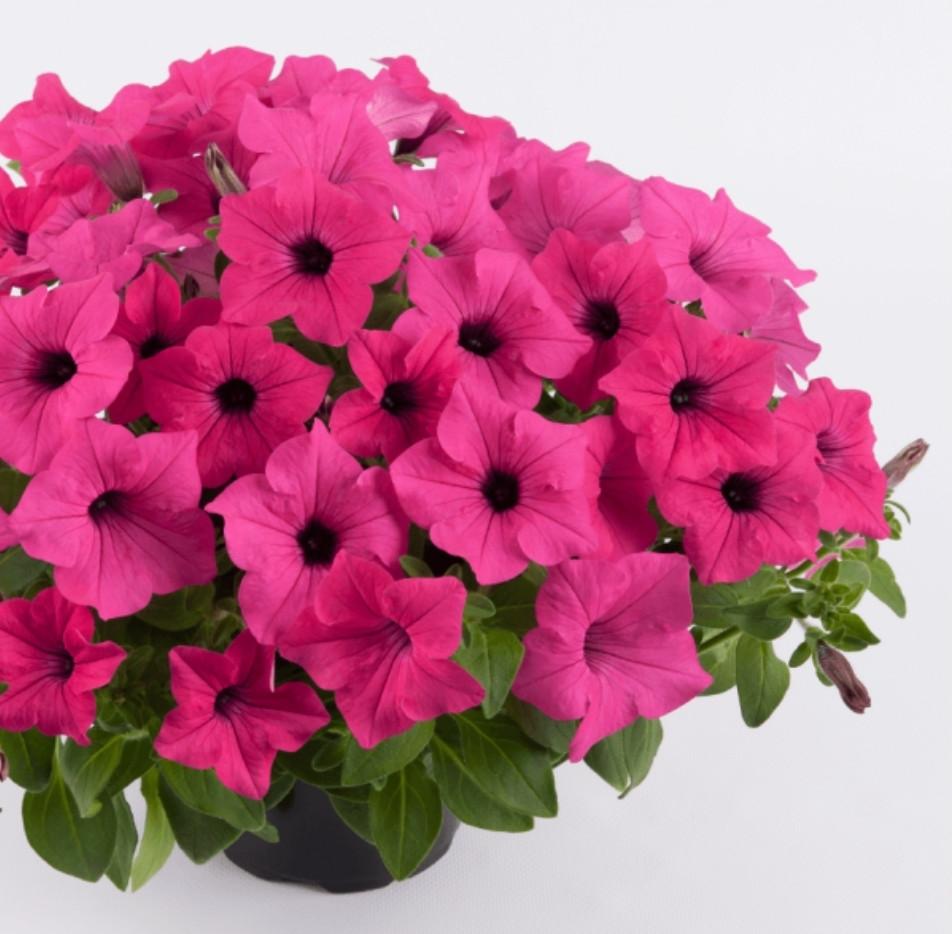 Surfinia Sumo Rose №524 / подрощенное растение