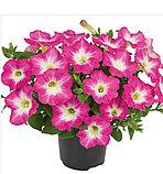 Viva Pinkceptional №526 / подрощенное растение, фото 2
