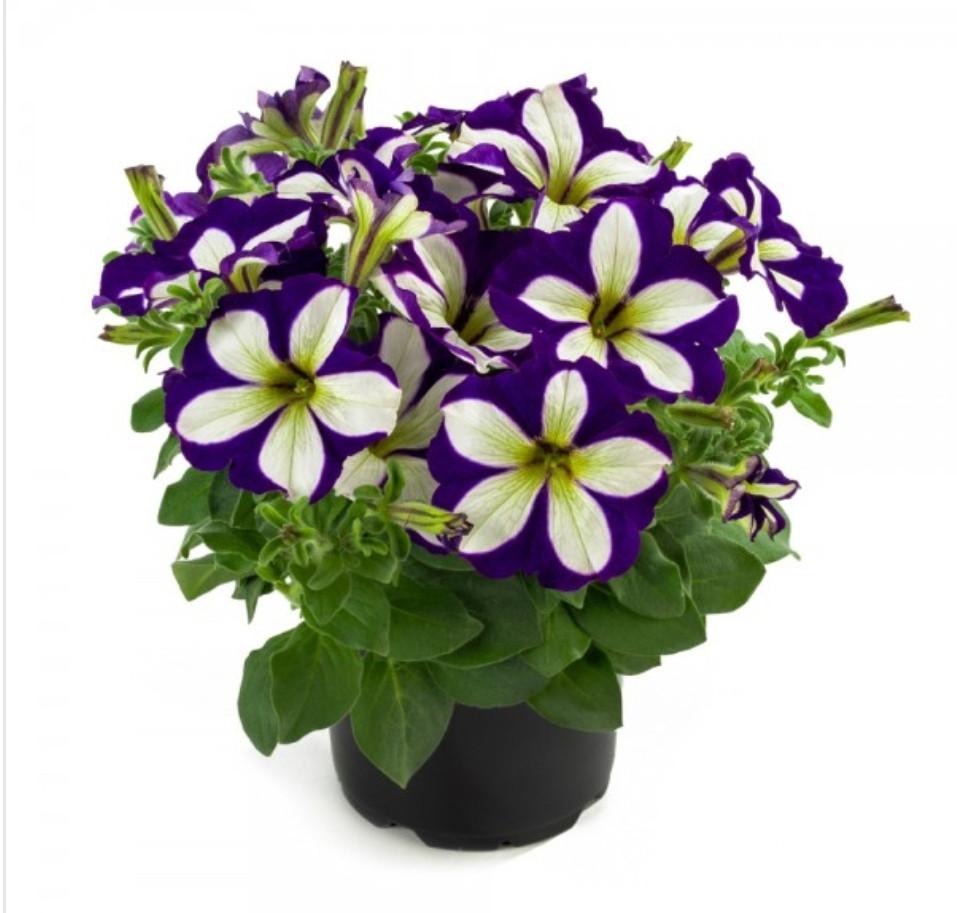 Lucky Lilac N 525 / подрощенное растение