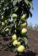 Саженцы яблони Президент (колоновидная)