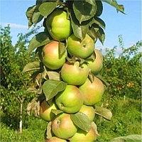 Яблоня колоновидная Малюха (саженцы)