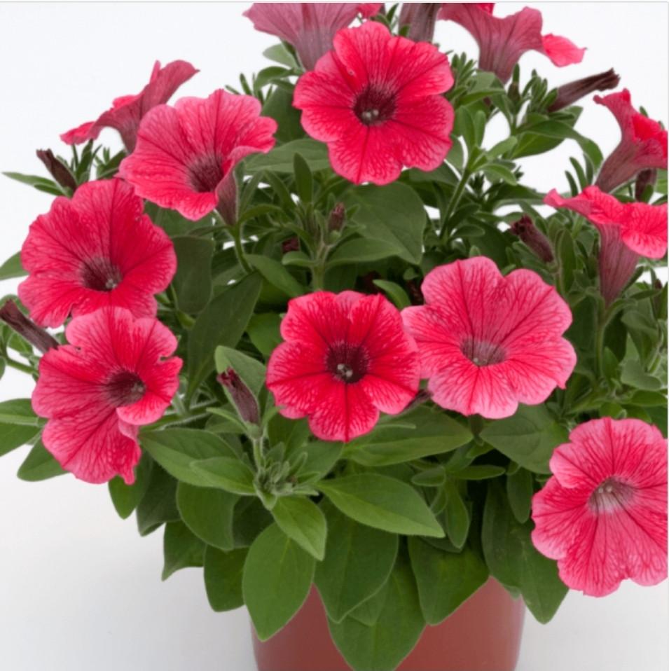 Surfinia Hot Red N 528 / подрощенное растение