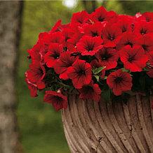 Surfinia Deep Red №529 / подрощенное растение