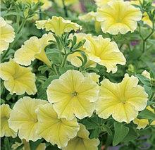 Fanfare Deep Yellow №536 / подрощенное растение