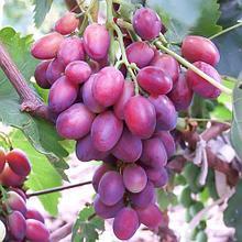 """Саженцы винограда """"Граф Монте Кристо""""."""