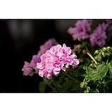 Пеларгония плющелистная Great Balls of Fire Light lavender, фото 2