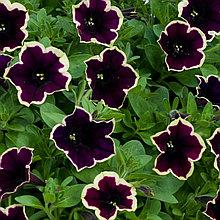 Петуния вегетативная Cascadias Rim Magenta подрощенное растение в кашпо или горшке от 3,5 л