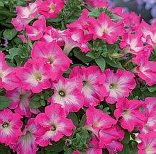 Fanfire Rose Morn №505 /подрощенное растение