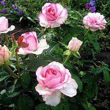 """Корни роз """"Дольче Вита"""". 2шт"""