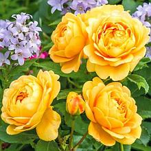"Корни роз ""Голден Селебрейшн"".В коробках"