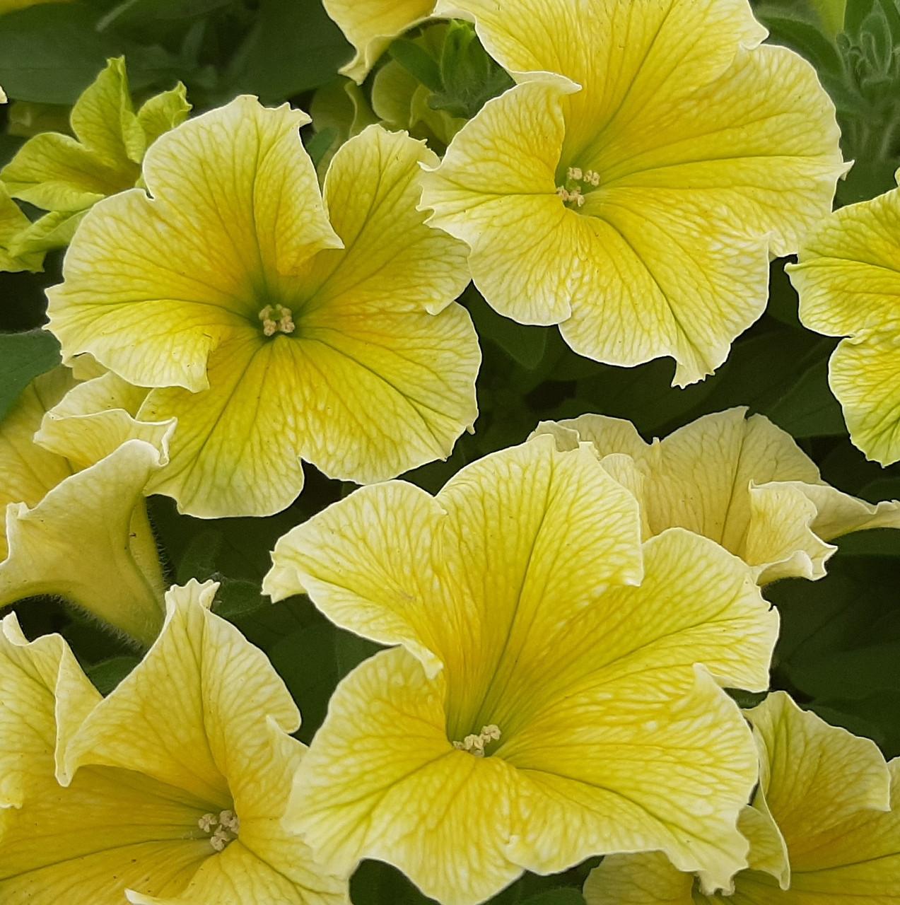 Петуния вегетативная Fanfare New Yellow