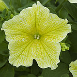 Петуния вегетативная Fanfare New Yellow, фото 2