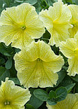 Петуния вегетативная Fanfare New Yellow, фото 4