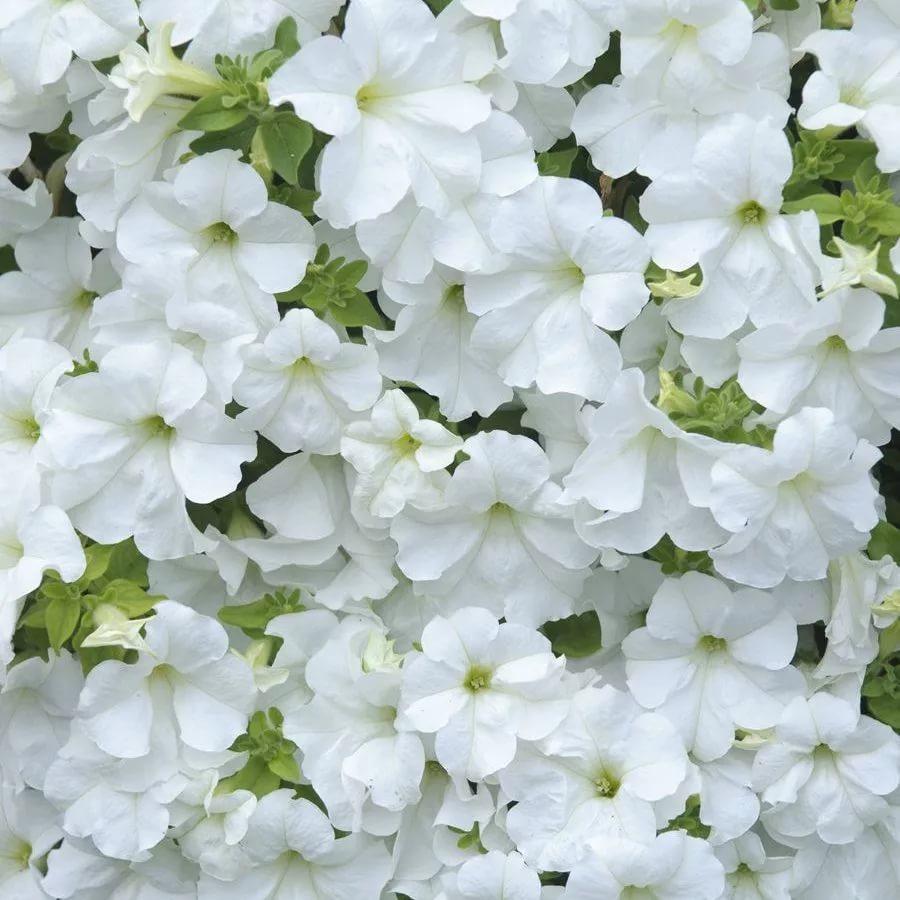 Петуния вегетативная Fanfare White