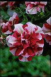 Петуния Tumbellina Cherry Ripple, фото 2